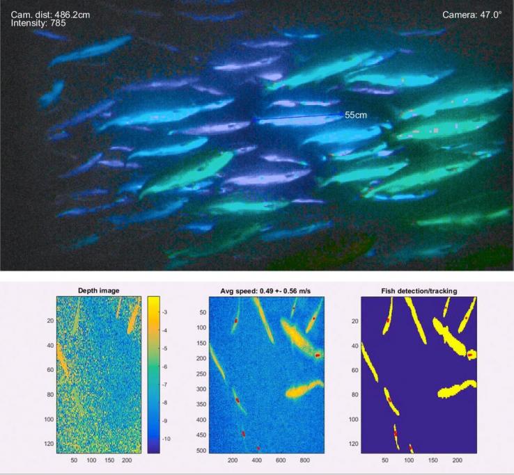 Вверху: изображение наложено с измерением длины. Внизу: изображения, используемые для отслеживания отдельных рыб.